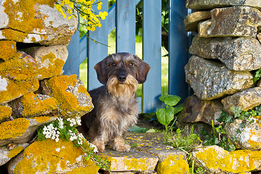 DOG 05 KH0050 01 © Kimball Stock Wirehaired Dachshund Sitting By Stone Wall With Yellow Lichens In Brittany, France
