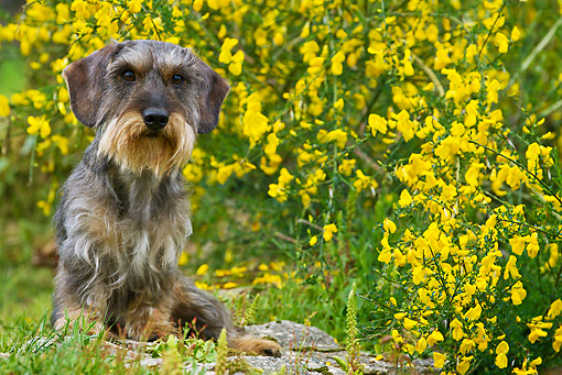 DOG 05 KH0053 01 © Kimball Stock Wirehaired Dachshund Sitting By Yellow Flowers In Brittany, France