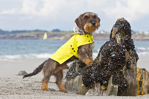 DOG 05 KH0054 01 © Kimball Stock Wirehaired Dachshund In Yellow Raincoat Leaning On Rock With Mussels In Brittany, France