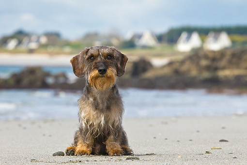 DOG 05 KH0055 01 © Kimball Stock Wirehaired Dachshund Sitting On Beach By Breton Houses In Brittany, France