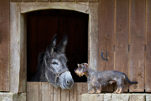 DOG 05 KH0060 01 © Kimball Stock Wirehaired Dachshund Face To Face With Donkey In Stable France