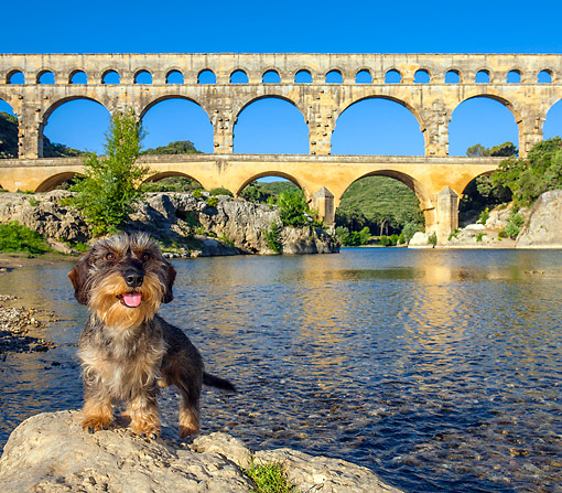 DOG 05 KH0061 01 © Kimball Stock Wirehaired Dachshund Standing In Front Of Pont du Gard Aqueduct