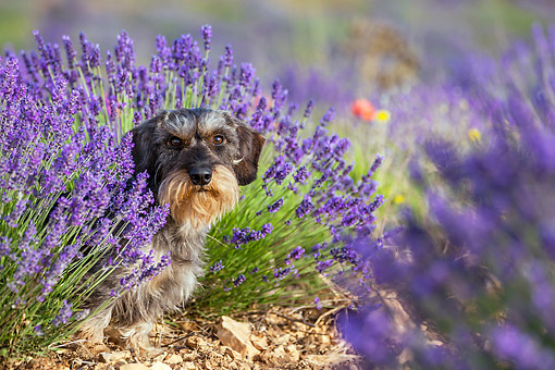 DOG 05 KH0062 01 © Kimball Stock Wirehaired Dachshund Sitting In Lavender Field Drome Provence, France