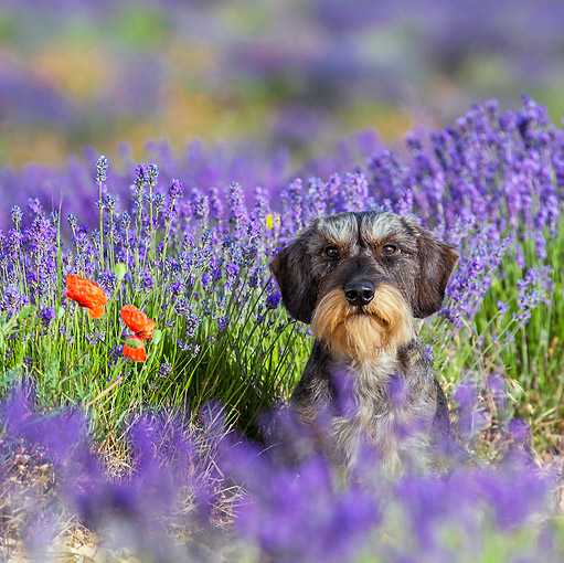 DOG 05 KH0063 01 © Kimball Stock Wirehaired Dachshund Sitting In Lavender Field Drome Provence, France