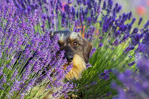 DOG 05 KH0064 01 © Kimball Stock Wirehaired Dachshund Sitting In Lavender Field Drome Provence, France