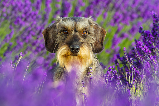 DOG 05 KH0065 01 © Kimball Stock Wirehaired Dachshund Sitting In Lavender Field Drome Provence, France