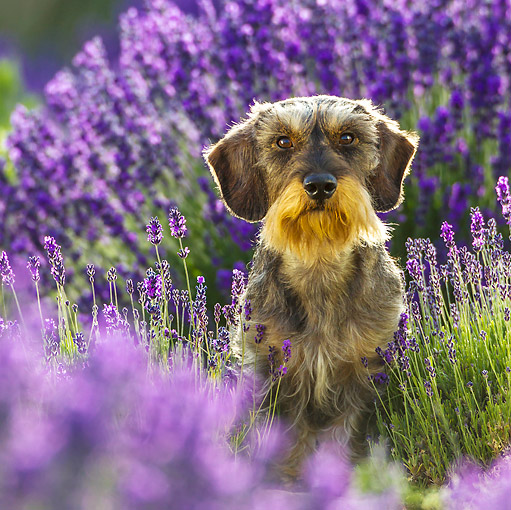 DOG 05 KH0066 01 © Kimball Stock Wirehaired Dachshund Sitting In Lavender Field Drome Provence, France