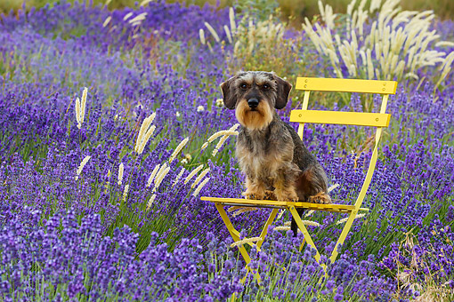 DOG 05 KH0067 01 © Kimball Stock Wirehaired Dachshund Sitting On Chair In Lavender Field Drome Provence, France