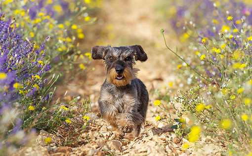 DOG 05 KH0068 01 © Kimball Stock Wirehaired Dachshund Running Through Lavender Field Drome Provence, France