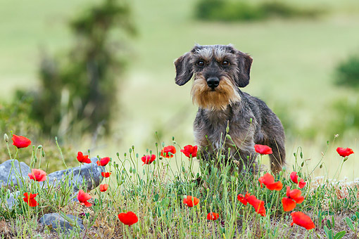 DOG 05 KH0069 01 © Kimball Stock Wirehaired Dachshund Standing In Field Dotted With Poppies Drome Provence, France