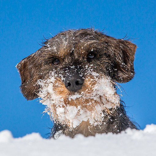 DOG 05 KH0071 01 © Kimball Stock Head Shot Of Wirehaired Dachshund Covered In Snow In French Alps