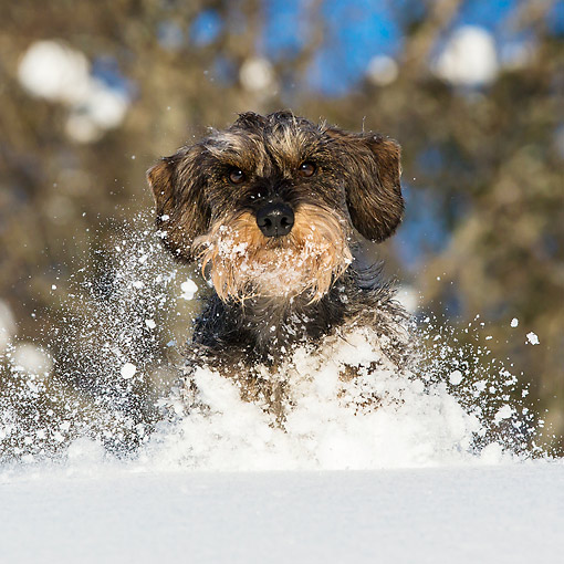 DOG 05 KH0072 01 © Kimball Stock Wirehaired Dachshund Running Through Snow In French Alps