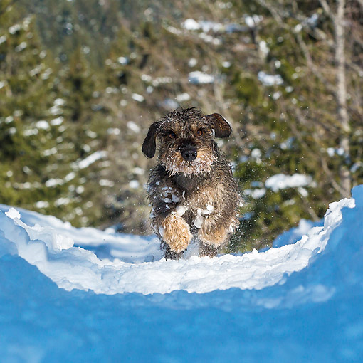 DOG 05 KH0073 01 © Kimball Stock Wirehaired Dachshund Running Through Snowy Path In French Alps