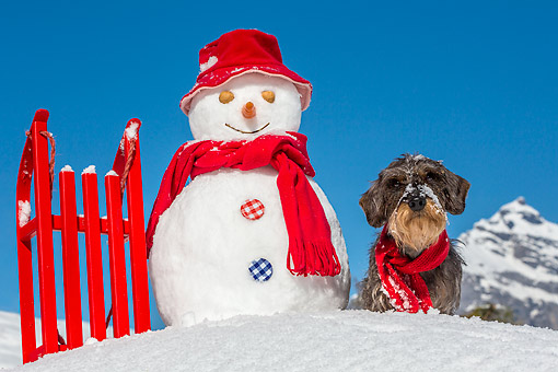 DOG 05 KH0075 01 © Kimball Stock Wirehaired Dachshund Sitting By Snowman And Sled In French Alps