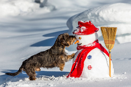 DOG 05 KH0076 01 © Kimball Stock Wirehaired Dachshund Kissing Snowman In French Alps