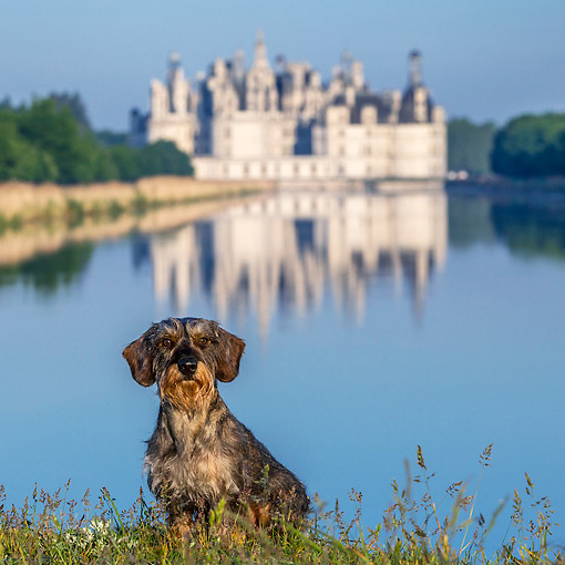 DOG 05 KH0077 01 © Kimball Stock Wirehaired Dachshund Sitting On Grass In Front Of Chambord Castle In Loire Valley, France