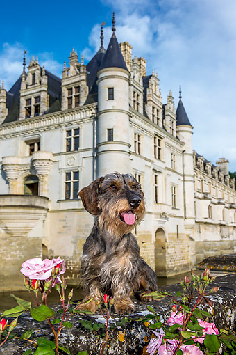 DOG 05 KH0078 01 © Kimball Stock Wirehaired Dachshund Sitting On Stone Wall In Front Of Chenonceau Castle In Loire Valley, France