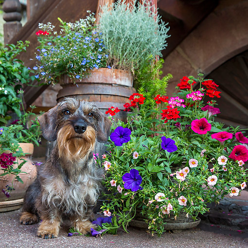 DOG 05 KH0080 01 © Kimball Stock Wirehaired Dachshund Sitting By Flower Pots In Alsace, France