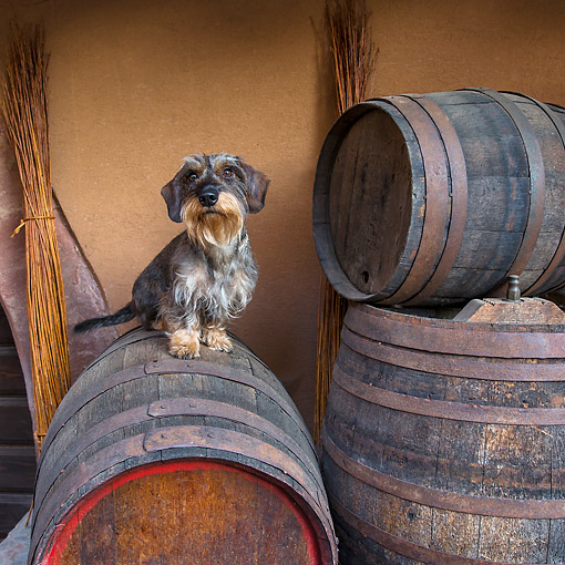 DOG 05 KH0081 01 © Kimball Stock Wirehaired Dachshund Sitting On Wine Barrel In Alsace, France