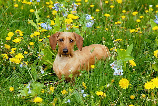 DOG 05 LS0004 01 © Kimball Stock Long-Haired Dachshund Standing In Dandelions And Virginia Bluebells