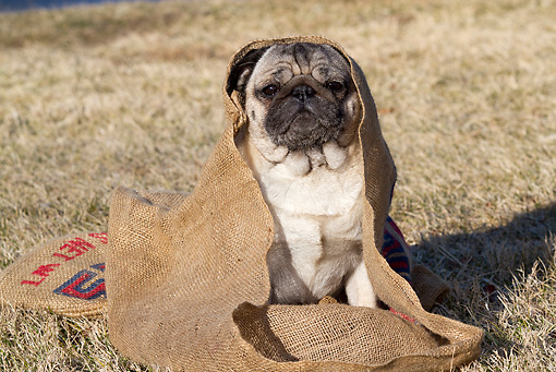 DOG 05 LS0012 01 © Kimball Stock Pug Sitting In Burlap Bag On Dry Grass