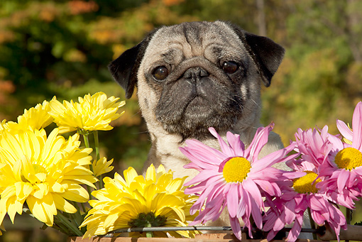DOG 05 LS0013 01 © Kimball Stock Female Pug Sitting In Basket With Yellow And Pink Chrysanthemums