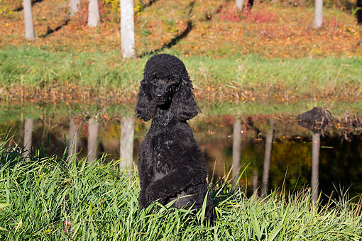 DOG 05 LS0015 01 © Kimball Stock Standard Poodle Sitting In Tall Grass By Pond And Autumn Leaves