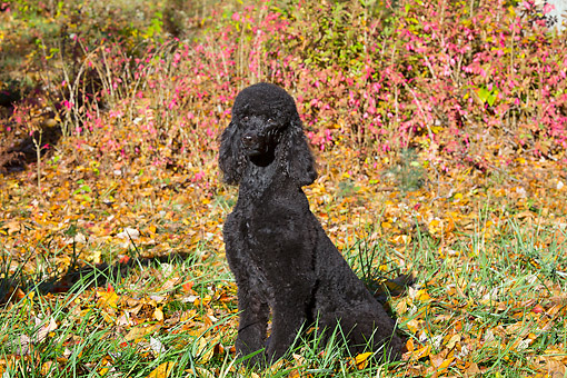 DOG 05 LS0016 01 © Kimball Stock Standard Poodle Sitting On Grass And Autumn Leaves