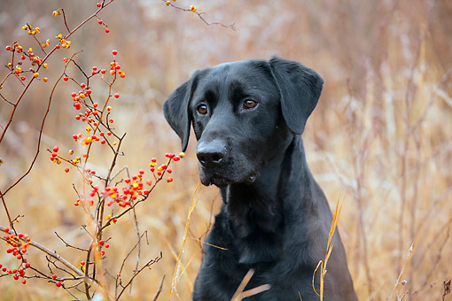 DOG 05 LS0017 01 © Kimball Stock Portrait Of Black Labrador Retriever Sitting In Tall Grass By Berries