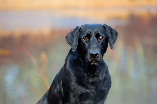 DOG 05 LS0018 01 © Kimball Stock Portrait Of Black Labrador Retriever Sitting In Tall Grass By Water