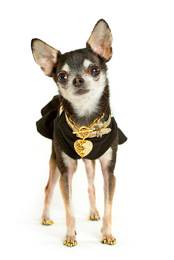 DOG 05 MQ0073 01 © Kimball Stock Humorous Black And White Chihuahua Wearing Black Shirt And Gold Chains On White Background
