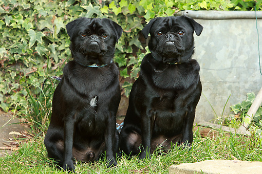 DOG 05 NR0013 01 © Kimball Stock Two Black Pugs Sitting On Lawn