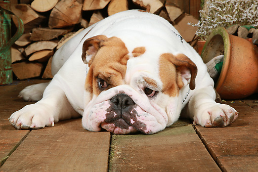 DOG 05 NR0016 01 © Kimball Stock English Bulldog Laying On Wood Floor