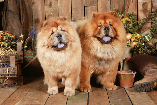 DOG 05 NR0017 01 © Kimball Stock Two Chow Chows Standing On Wood Floor By Dried Flowers