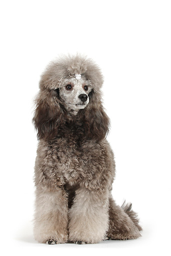 DOG 05 PE0007 01 © Kimball Stock Silver Miniature Poodle Wearing Clip Sitting On White Seamless