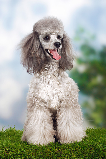 DOG 05 PE0008 01 © Kimball Stock Silver Miniature Poodle Sitting In Grass