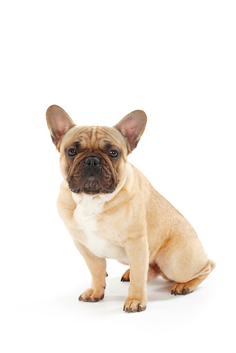 DOG 05 PE0012 01 © Kimball Stock French Bulldog Sitting On White Seamless