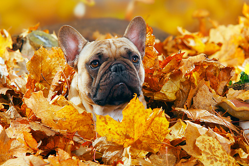 DOG 05 PE0017 01 © Kimball Stock French Bulldog Buried In Autumn Leaves