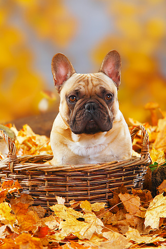 DOG 05 PE0018 01 © Kimball Stock French Bulldog Sitting In Basket In Autumn Leaves