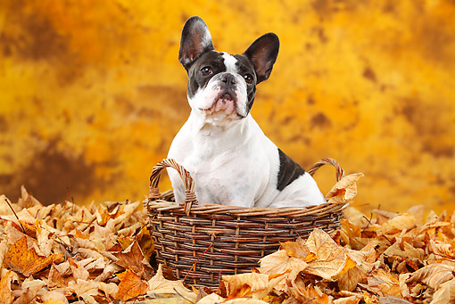 DOG 05 PE0026 01 © Kimball Stock French Bulldog Sitting In Basket In Autumn Leaves