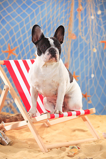 DOG 05 PE0027 01 © Kimball Stock French Bulldog Sitting On Beach Chair By Fishing Net