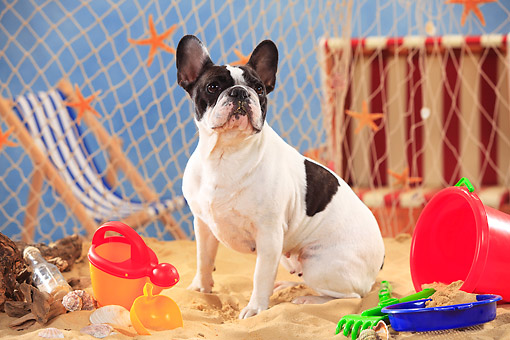 DOG 05 PE0028 01 © Kimball Stock French Bulldog Sitting On Beach With Sand Toys