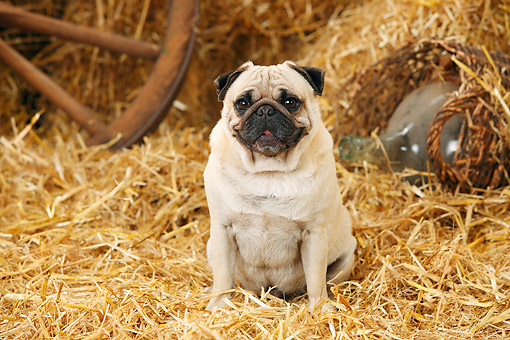 DOG 05 PE0029 01 © Kimball Stock Pug Sitting In Barn