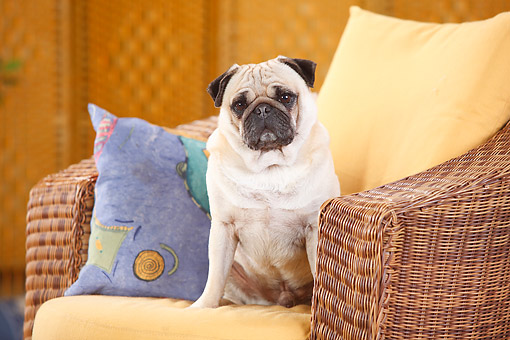 DOG 05 PE0031 01 © Kimball Stock Pug Male Sitting In Armchair
