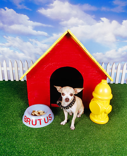 DOG 05 RK0039 08 © Kimball Stock Chihuahua Wearing Dog Collar Sitting In Front Of Dog House With Bowl