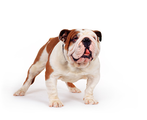 DOG 05 RK0069 02 © Kimball Stock English Bulldog Standing On White Seamless Studio