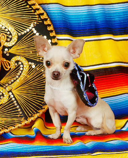 DOG 05 RK0074 04 © Kimball Stock Chihuahua Sitting On Mexican Blanket Wearing Sumbrero Around Neck
