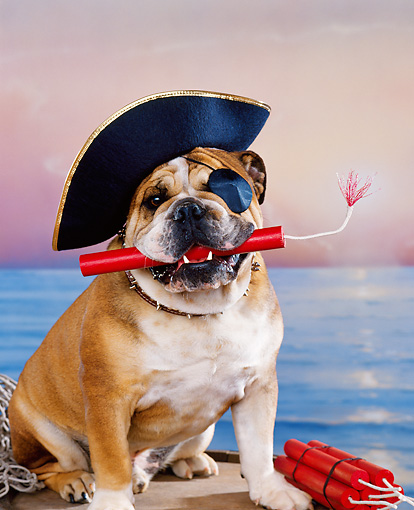 DOG 05 RK0089 06 © Kimball Stock Humorous Shot Of English Bulldog Wearing Pirate Hat With Dynamite In Mouth