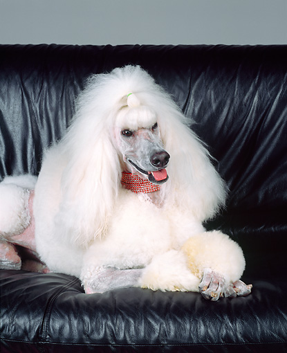 DOG 05 RK0209 07 © Kimball Stock Continental Standard Poodle Laying On Black Leather Couch