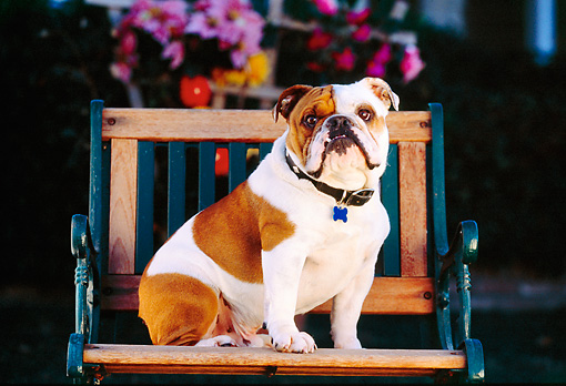 DOG 05 RK0225 03 © Kimball Stock Bulldog Sitting On Wooden Bench Flowers Background